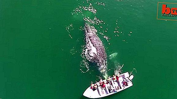 สำรวจปลาวาฬสีเทาของบาฮา, อ่าวแมกดาเลนาของเม็กซิโก