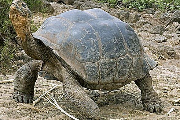 Testoasa Galapagos, Uriașul blând
