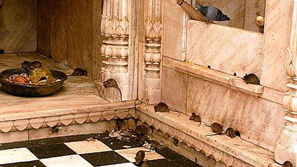 Templul Karni Mata - Templul Șobolanului din Rajasthan