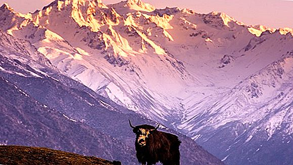 เทือกเขาหิมาลัย Yaks; เรื่องราวของภาพถ่าย