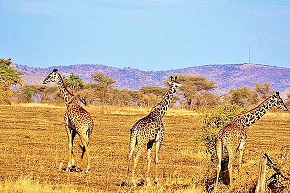 บน Safari ในแทนซาเนีย: ประสบการณ์สัตว์ป่าขั้นสูงสุด