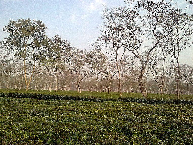 Восточная Индия: чайные плантации