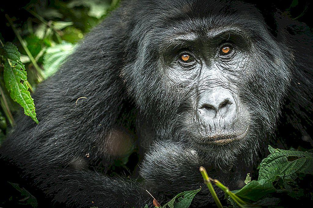 霧の中でウガンダのゴリラを見る新しい方法 - Lonely Planet