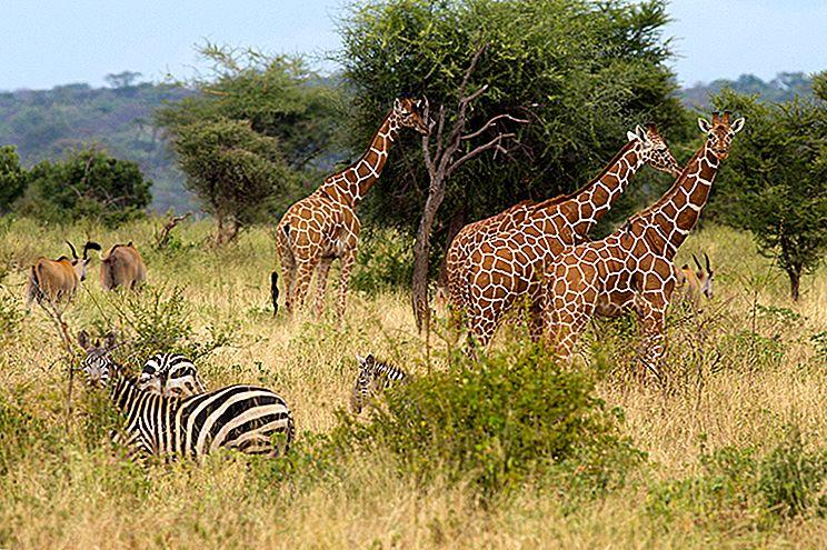 Născut gratuit ... din nou: renașterea Parcului Național Meru din Kenya